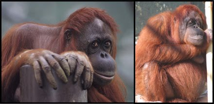 Orangutan 50th Birthday Protecting Amahle: Ani...