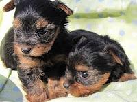 ヨーキー, 仔犬, ヨークシャテリア, 子犬, 販売, ブリーダー