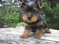 ヨークシャー・テリア, 仔犬, コロナ犬舎, 子犬, ちっぷ