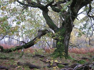 Talladale oak