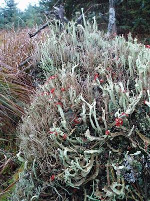Lichen forest with Cladonia sulphurina