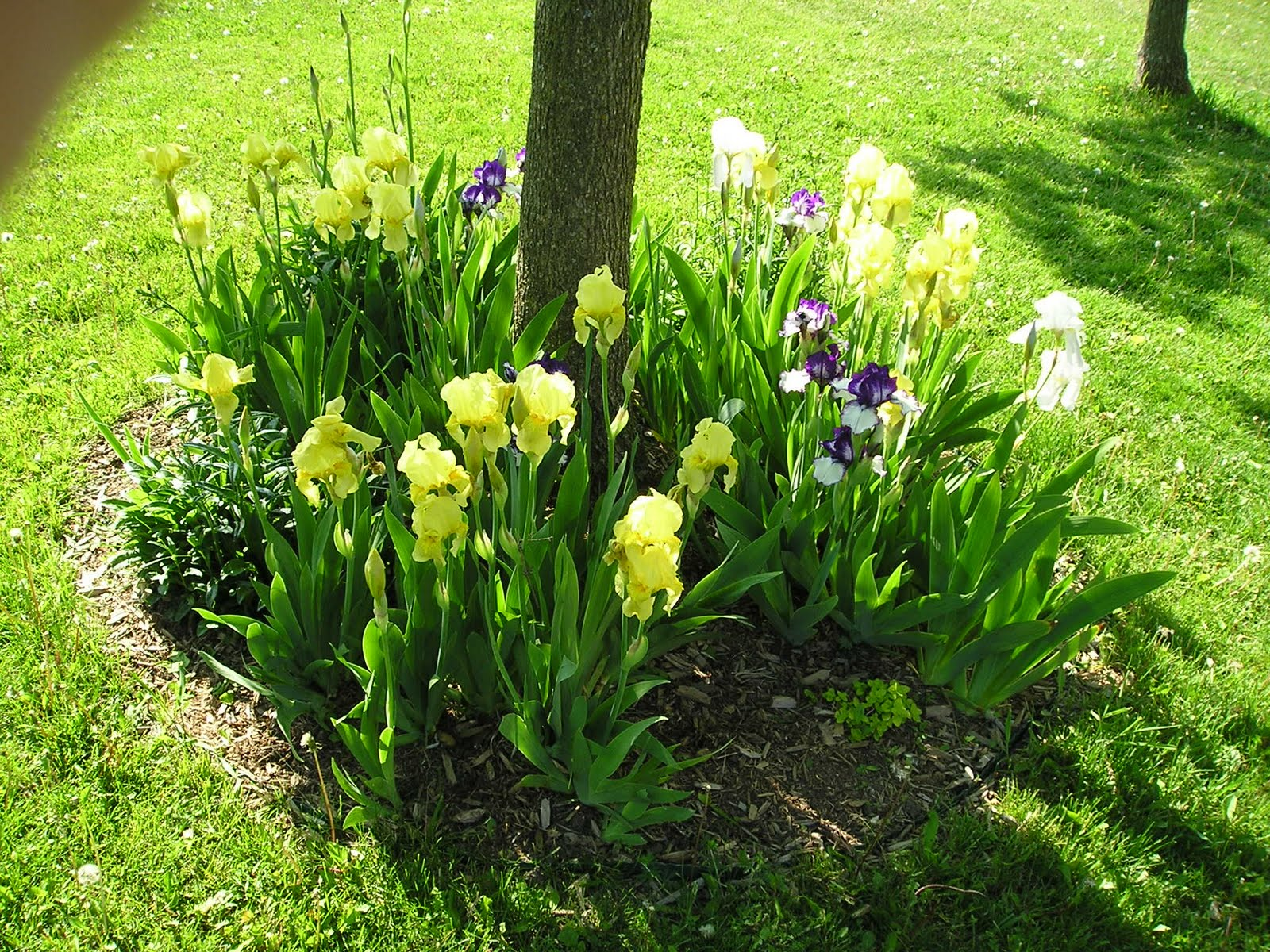 Perennials That Grow Under Oak Trees : The proficient needle happy victoria day weekend