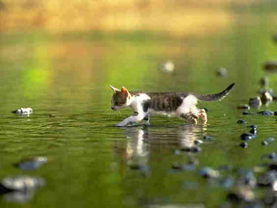 Cat Chasing Fish In Water........goes fishing