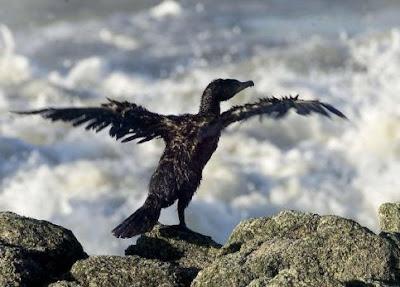 oiseau Le bruit du pétrole fait chuter les oiseaux