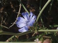 Silvestre azul