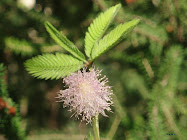 Mimosa sensitiva