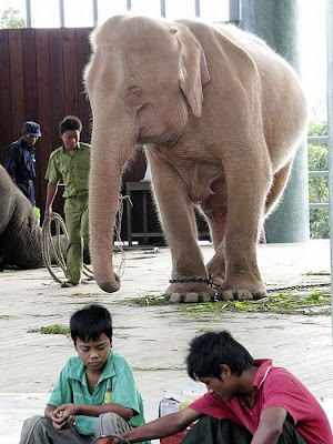 Rare Albino Elephant | White Elephant Picture Seen On  www.coolpicturegallery.us