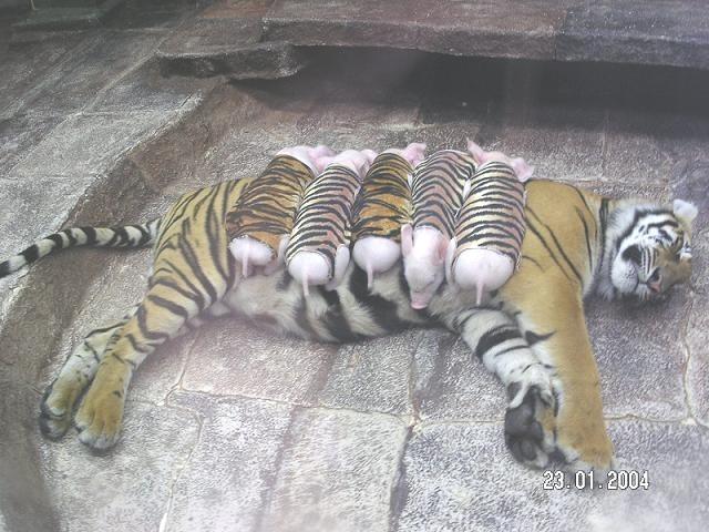 adoption+Tiger.jpg