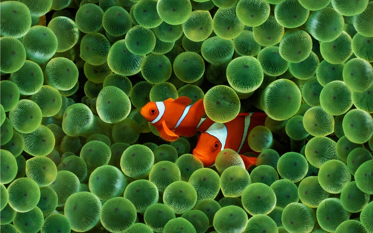 http://3.bp.blogspot.com/_ouQvWqLBeqI/S9khAjXp9EI/AAAAAAAAABs/2-uk0R5N02s/s1600/clown-fish-wallpapers_5182_1280x800.jpg