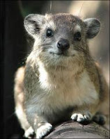 A Cape Hyrax in the wild