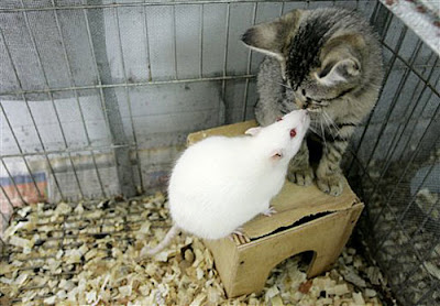 Rats with Cats