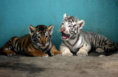 Twin tiger cubs - one yellow and one white
