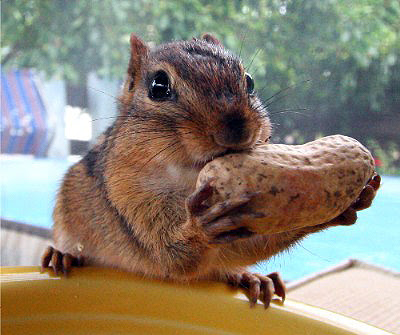 Chipmunk swallowing a peanut