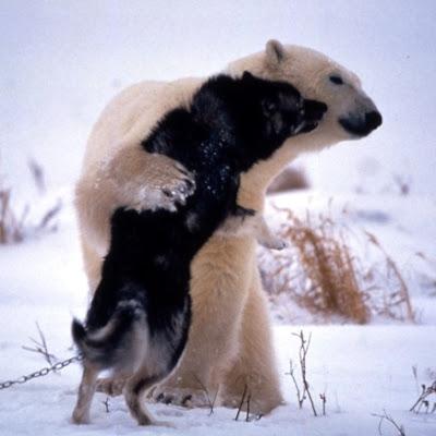 Polar bear playing with a sled dog