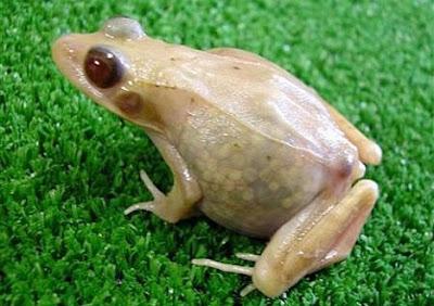 Transparent frog