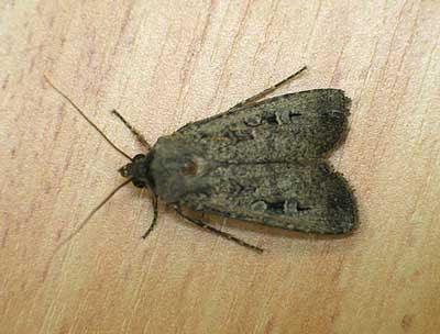 Bogong Moths