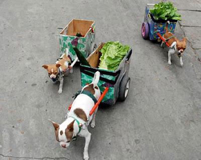 lettuce-dogs