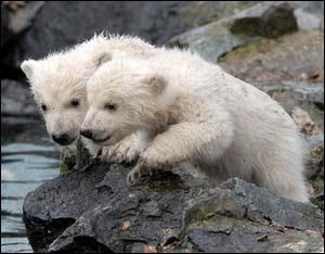Yavru kutup ayıları gün ışığına çıktı