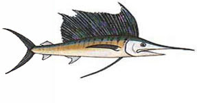 Sailfish / Istiophorus platypterus