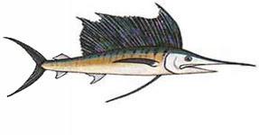 Sailfish / Istiophorus platypterus