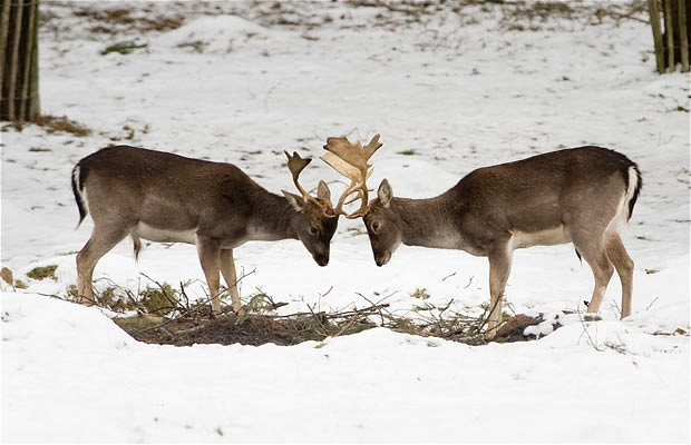 Picture of the Day-Fallow deer