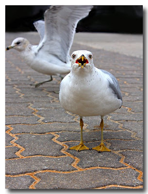 Raging Seagull