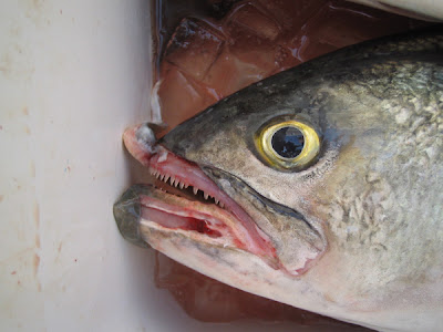 italian fisherman: BLUEFISH TEETH, CAPE COD MA