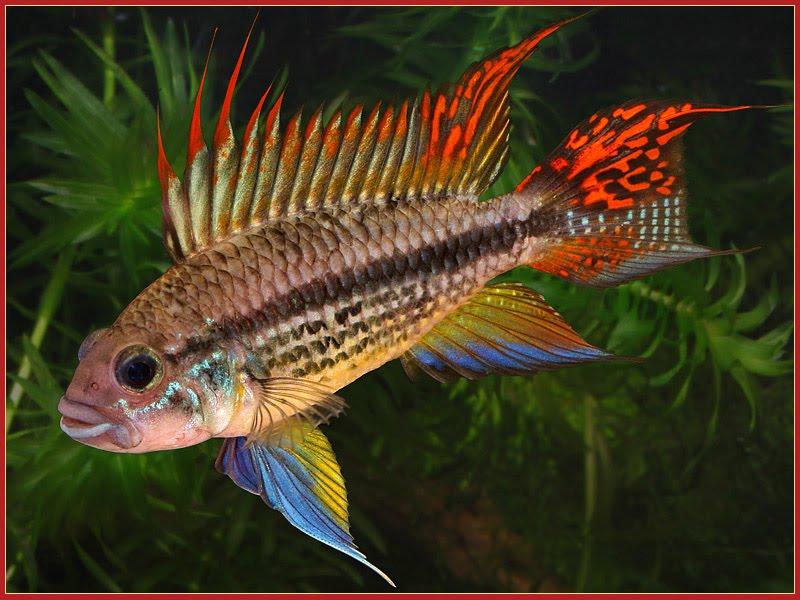 Apistogramma Dwarf Cichlids In The Aquarium Planted