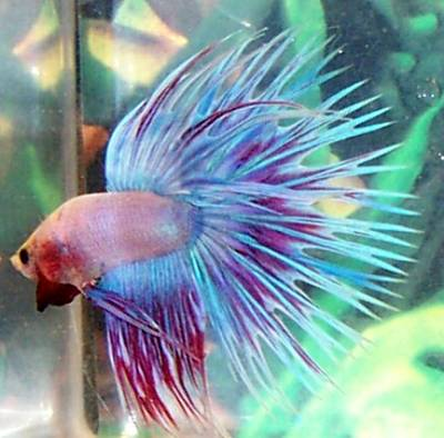 10 tips for a successful betta splendens reproduction for How big can a betta fish get