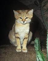 Барханная кошка ночью