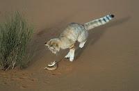 Барханная кошка ловит змею