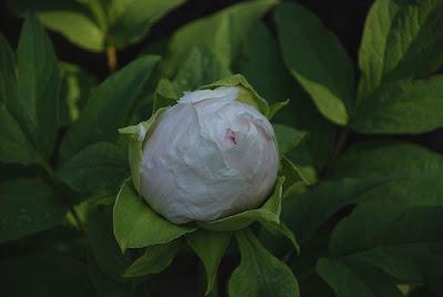 Paeonia suffruticosa 'Teni'