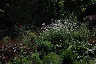 Cirsium  rivuale, Gaura linderheimeri, Pennisetum alopecuroides 'Hameln'.