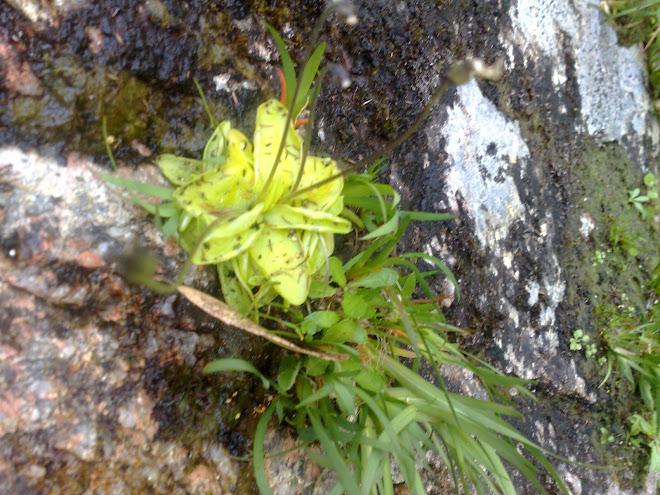 Pinguicula Vulgaris - plantas Insetívoras