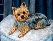 Pet Portrait Yorkshire Terrier