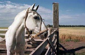 el zorro caballo argentino