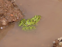 Northern Leopard Frog