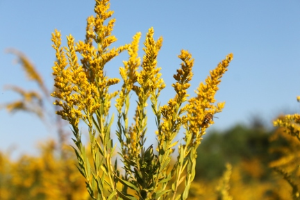 What does a goldenrod flower look like?