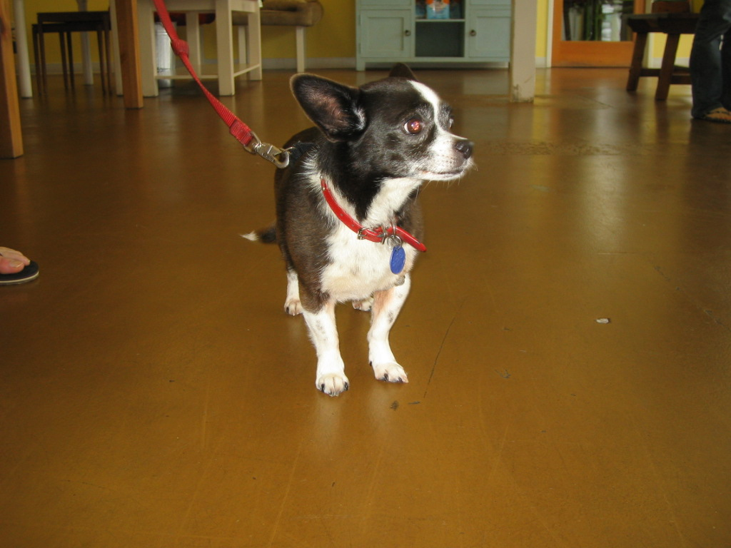 TODAY'S CUSTOMER ★CUTE CHIHUAHUA/BOSTON TERRIER MIX★