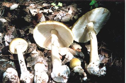[deathcap+mushrooms.JPG]