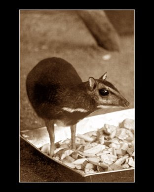 A mouse deer on its food