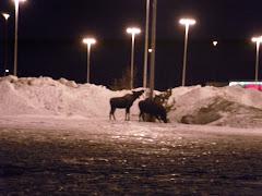 Moose at Home Depot