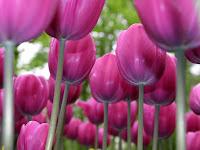 :::pink tulipss::::