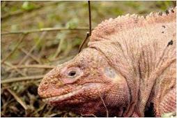 Iguana Rosada
