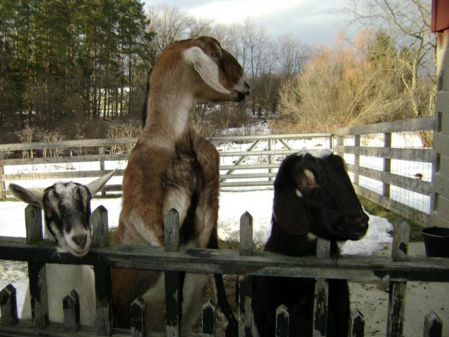 [tres+goats]