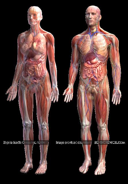 Human anatomy game online