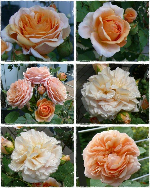 gwundergarten rosen abc abc of roses c. Black Bedroom Furniture Sets. Home Design Ideas