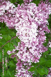 Spring Lilacs in May