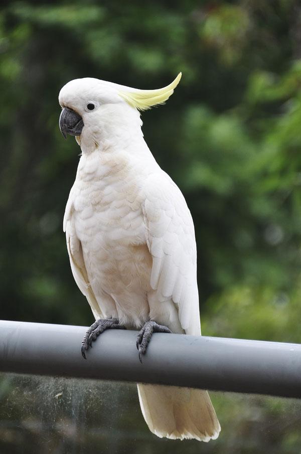 cockatoo Sydney Australia