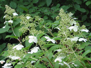 in the garden my plant obsession hydrangea paniculata 39 kyushu 39. Black Bedroom Furniture Sets. Home Design Ideas